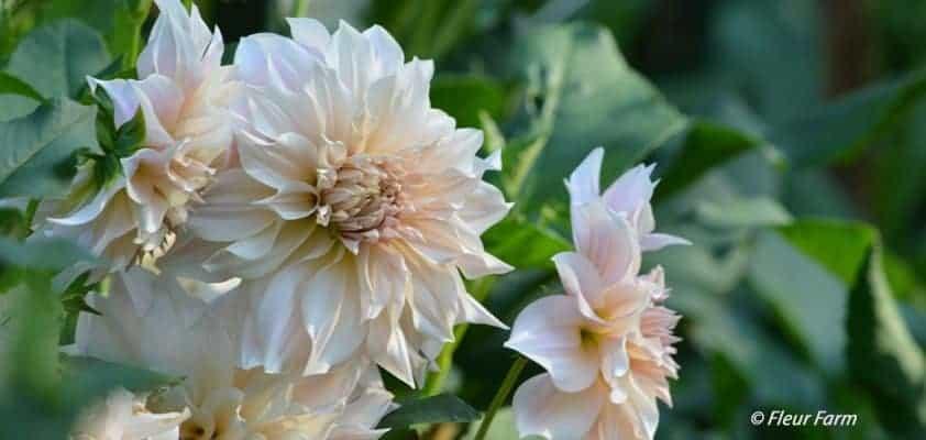 Fleur Farm Dahlias