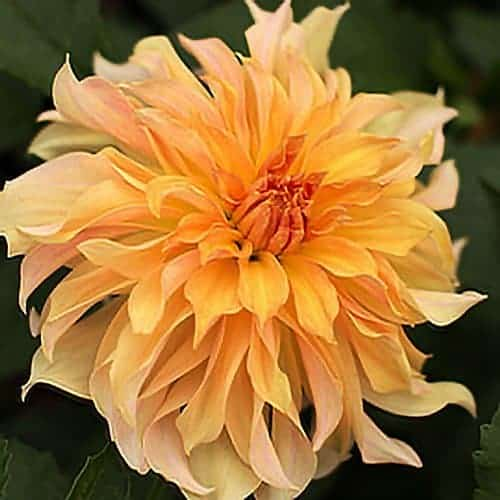 Dahlia Big Brother @FleurFarm