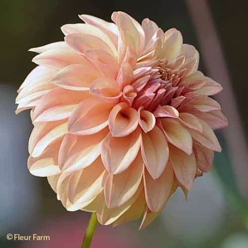 Dahlia David Howard @FleurFarm