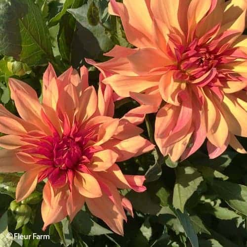 Dahlia French CanCan @FleurFarm