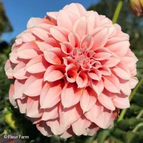 Dahlia Peaches 'n Cream @FleurFarm