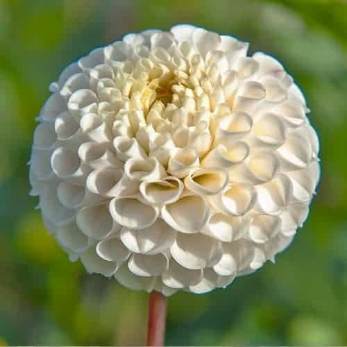 Dahlia Small World @FleurFarm