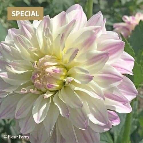 Dahlia Time For All @FleurFarm