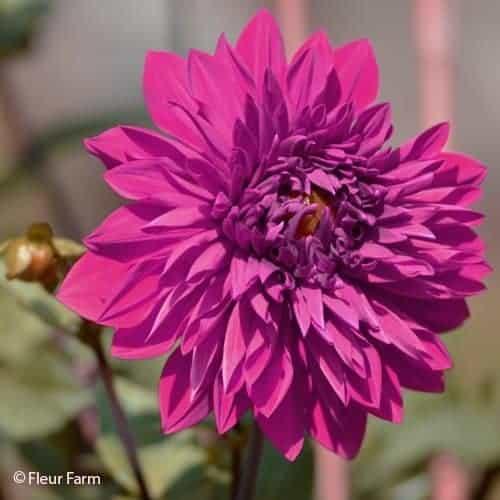 Dahlia Babylon Purple @FleurFarm