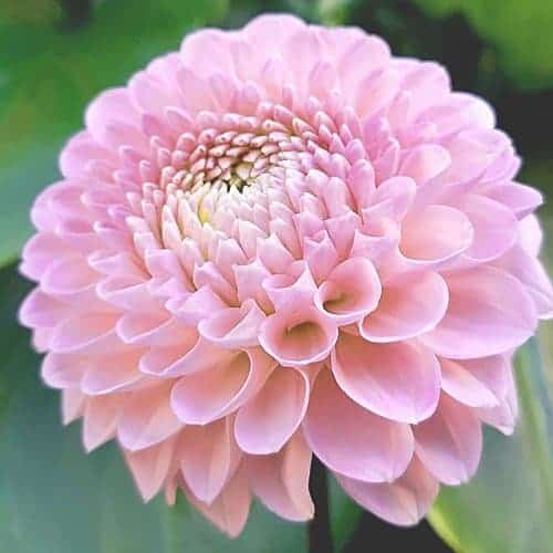 Dahlia Pink Silk @FleurFarm