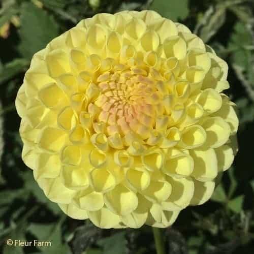 Dahlia Boom Boom Yellow @ Fleur Farm