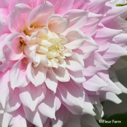 Dahlia Gitt's Perfection @FleurFarm