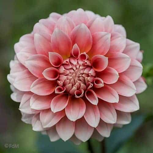 Dahlia Hollyhill Orange Ice @FleurFarm