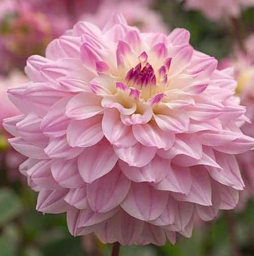 Dahlia Miracle Princess @FleurFarm