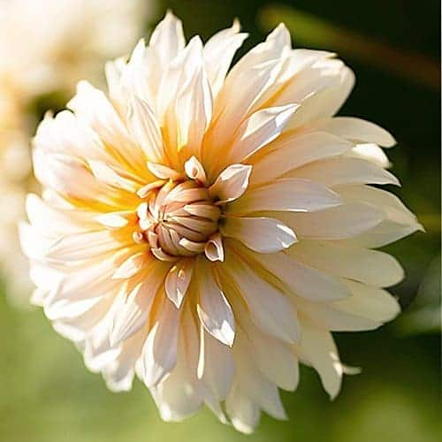 Dahlia Orange 'N Snow @FleurFarm
