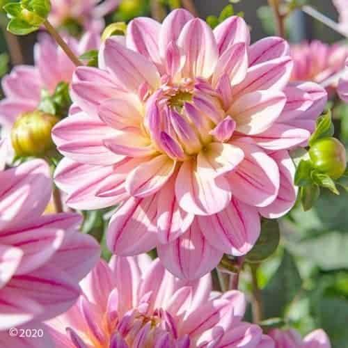 Dahlia Pink Magic @FleurFarm