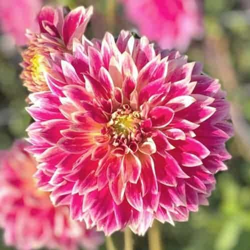 Dahlia Temple of Beauty @FleurFarm
