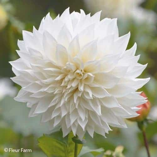 Dahlia White Perfection @FleurF
