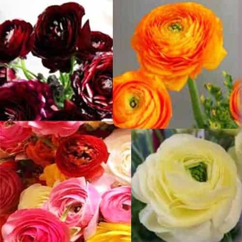 Ranunculus Amandine Warm Mix @FleurFarm