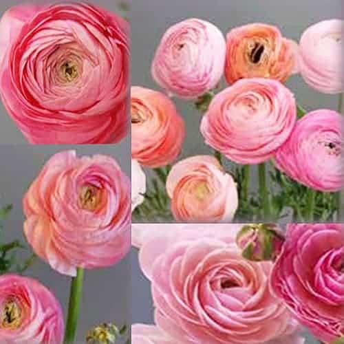 Ranunculus Amandine Pastel Mix @FleurFarm