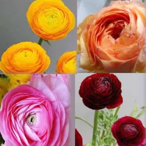 Ranunculus La Belle Mix @FleurFarm