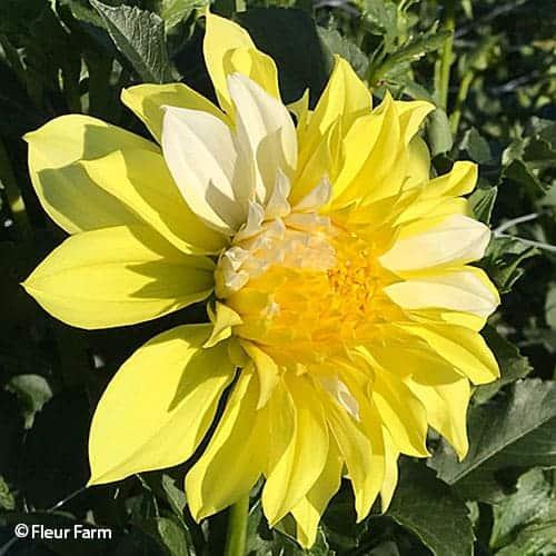 Dahlia Hollyhill Lemon Ice @FleurFarm