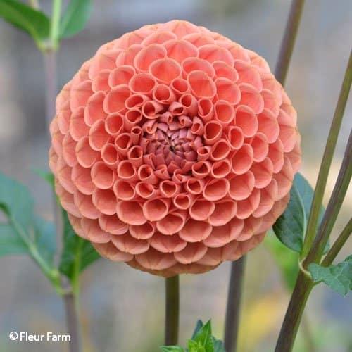 Dahlia Cornel Bronze - Fleur Farm