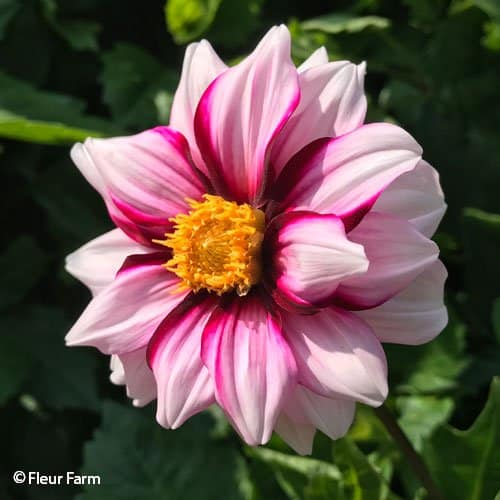 Dahlia Edge Of Joy - Fleur Farm