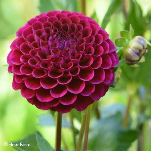 Dahlia Ivanetti - Fleur Farm