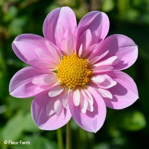 Dahlia Rosy Wings - Fleur Farm