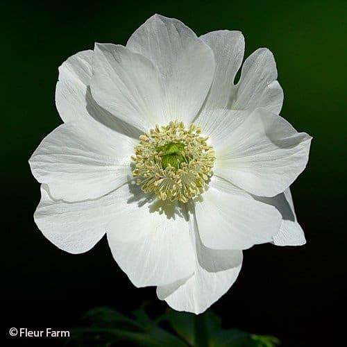 White Anemone Green Eye