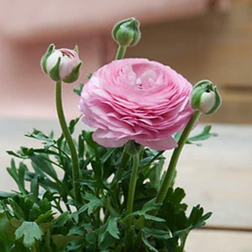 Ranunculus Amandine Porcelaine