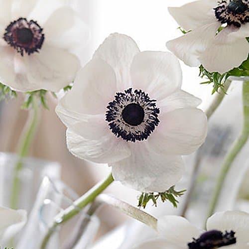 White Anemone Black Eye