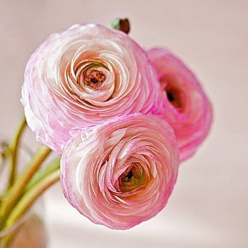 Ranunculus Amandine Pink Picotee
