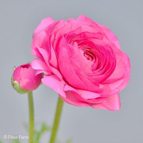 Ranunculus Amandine BonBon