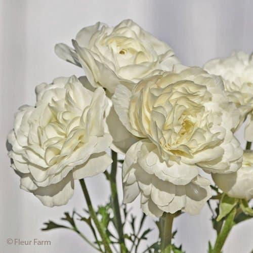 Ranunculus Amandine Antique White