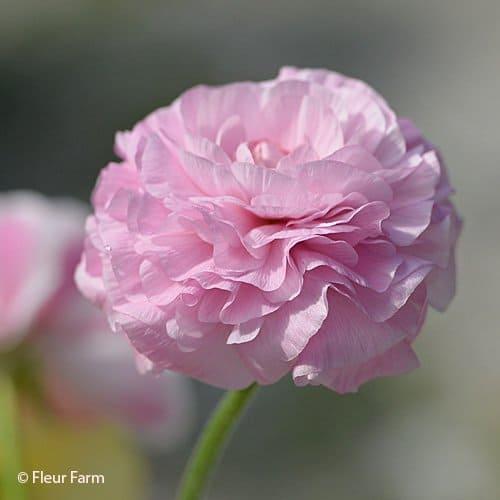 Ranunculus Amandine Primevere Mix