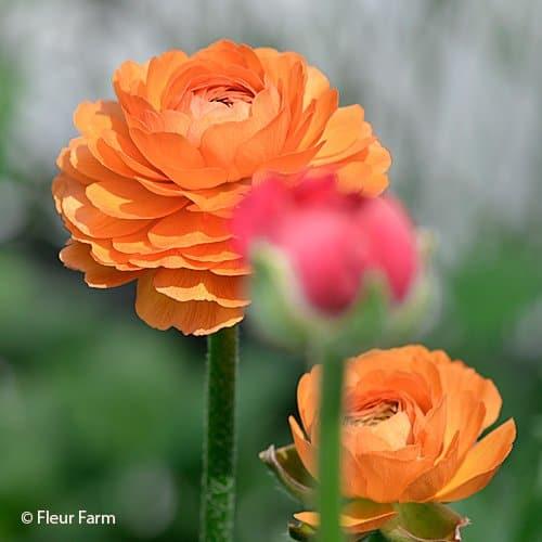 Ranunculus Amandine Pastel Orange