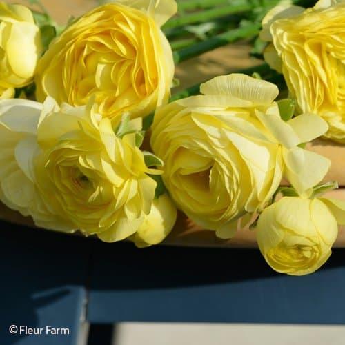 Ranunculus Amandine Pastel Lemon