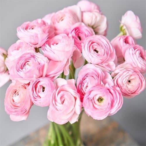 Ranunculus Amandine Pastel Pink