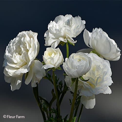 Ranunculus Amandine Pure White