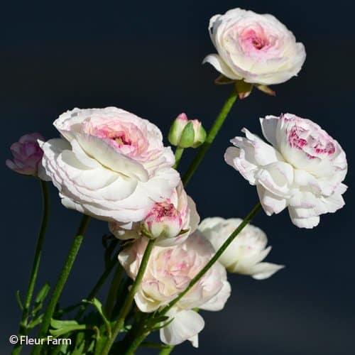 Ranunculus LaBelle White Picotee