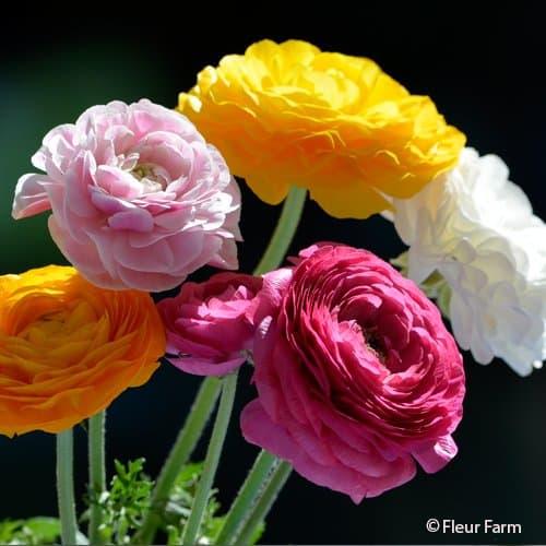 Ranunculus Amandine Mix
