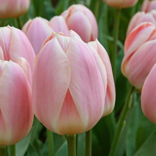 Tulip Apricot Delight