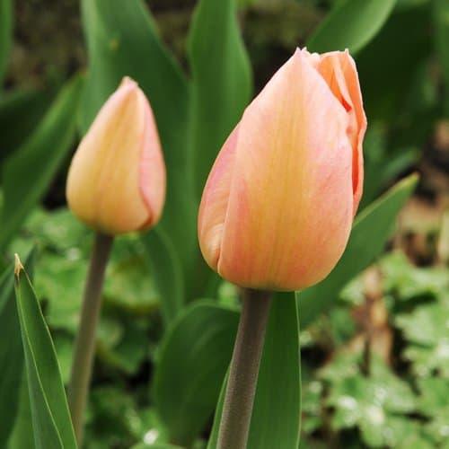 Tulip Apricot Pride