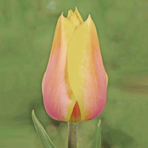 Tulip Blushing Beauty