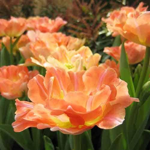 Tulip Charming Beauty