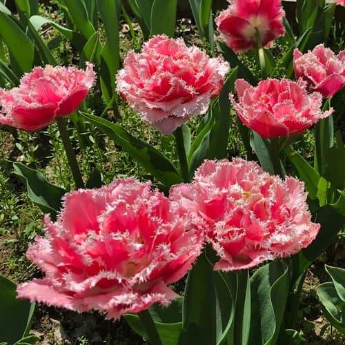 Tulip Cool Crystal