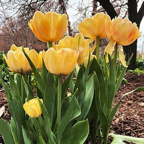 Tulip Foxy Foxtrot