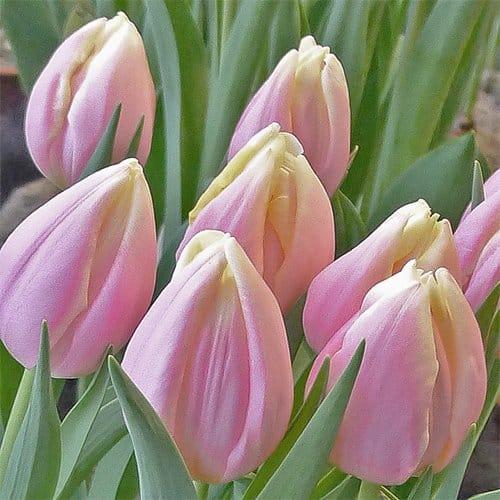 Tulip Mango Charm