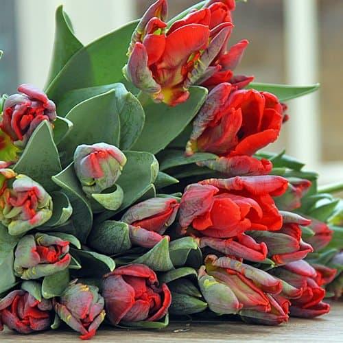 Tulip Rococo Parrot