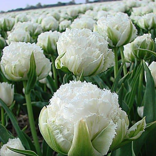 Tulip Snow Chrystal