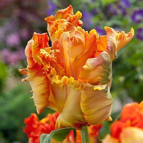Tulip King Parrot